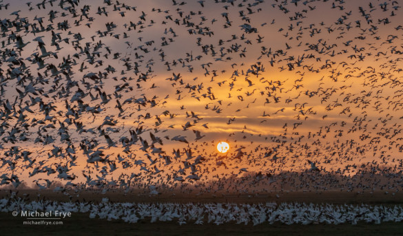 Ross's geese taking flight at sunset, San Joaquin Valley, CA, USA
