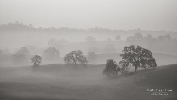 Blue oaks in fog 2, Sierra Nevada foothills