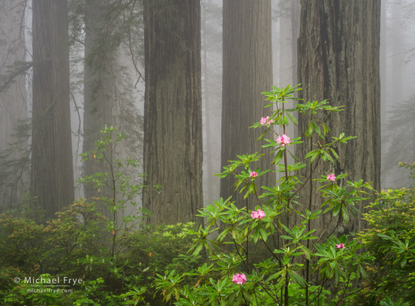 Redwoods and rhododendrons, Del Norte Redwoods SP, CA, USA
