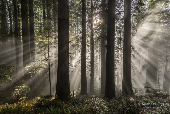 Sunbeams in a redwood forest, northern California coast