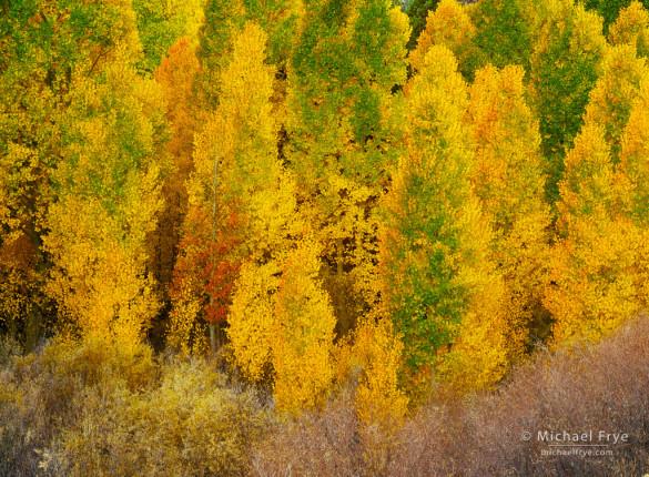 Quaking aspens, autumn, Lee Vining Canyon, Inyo NF, CA, USA