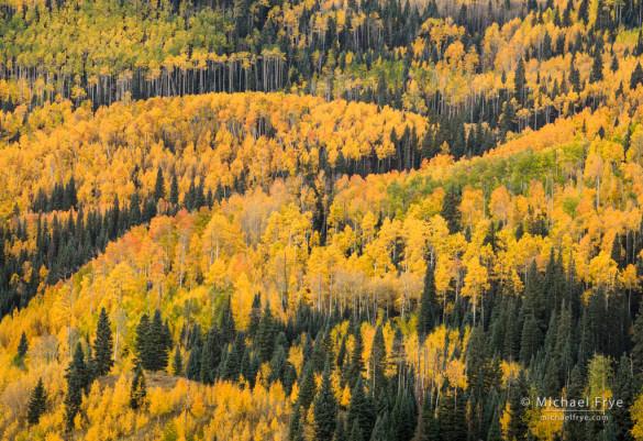 Aspen-covered hillside, Uncompahgre NF, CO, USA