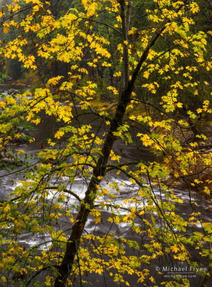 Big-leaf maple along the Merced River, Yosemite NP, CA, USA