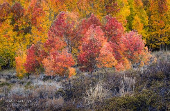 Aspens and sagebrush, autumn, Inyo NF, CA, USA
