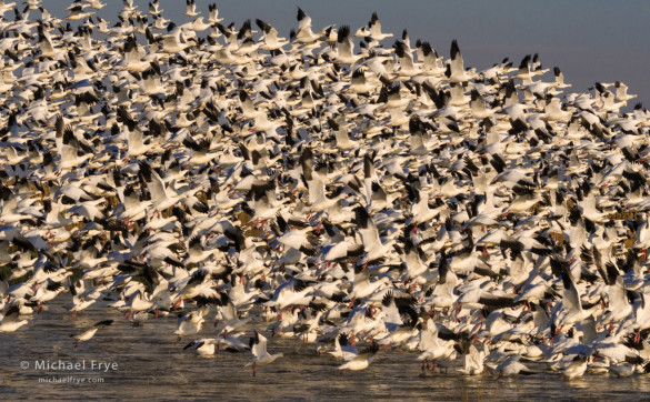 Ross's geese lifting off from a San Joaquin Valley marsh, CA, USA