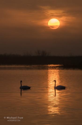 Tundra swans at sunrise in a San Joaquin Valley marsh, CA, USA