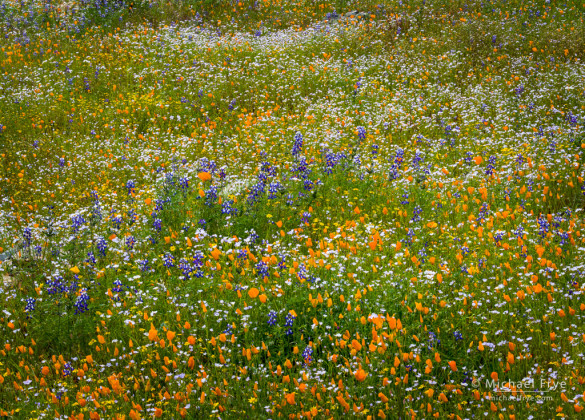 Poppies, lupines, goldfields, and tri-colored gilia, Merced River Canyon, Sierra Nevada foothills, CA, USA